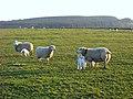 April Lambs - geograph.org.uk - 392222.jpg