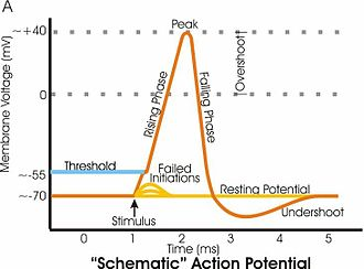 Hyperpolarization (biology) - Diagram of membrane potential changes during an action potential
