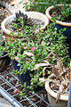 Aptenia cordifolia 3.jpg