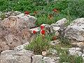 Aptera - Blumen und Ruinen 2.jpg
