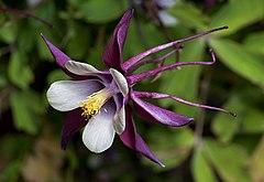 Columbine cultivar 'Magpie'