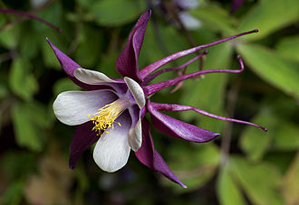 Aquilegia - Columbine cultivar 'Magpie'