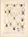 Arachnida Araneidea Vol 1 Table 14.jpg