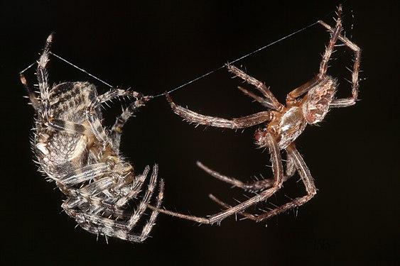 Araneus diadematus - Gartenkreuzspinne - mating prelude.jpg
