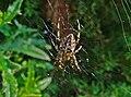 Araneus diadematus 02.jpg