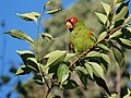 Aratinga erythrogenys -San Francisco -feral parrot-8b.jpg