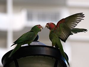 Red-masked parakeet - Feral parrots on a street lamp in San Francisco; one has its wings open showing the red and green on the underside of a wing