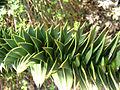 Araucaria araucana 03.jpg
