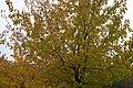 Arboles Amarillos - panoramio (1).jpg
