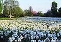 Arboretum Ellerhoop - Dichter-Narzissenwiese 1.jpg