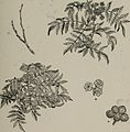 Arboretum et fruticetum britannicum, or - The trees and shrubs of Britain, native and foreign, hardy and half-hardy, pictorially and botanically delineated, and scientifically and popularly described (14761024386).jpg