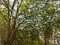 Arbres et arbustes non-identifiés à Grez-Doiceau 006.jpg