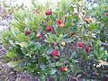 Arbutus unedo tree (koumaria).jpg