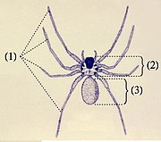 Spider anatomy: (1) four pairs of legs (2) cephalothorax (3) opisthosoma