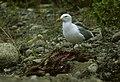 Arctic Herring Gull - Alaska 0018 (41250657085).jpg