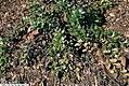 Arctostaphylos uva-ursi 5zz.jpg