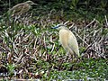 Ardeola ralloides -Lake Ravelobe, Ankarafantsika National Park, Madagascar-8.jpg