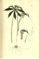 Arisaema echinatum (as Arum echinatum). Plantae Asiaticae Rariores, vol.2- t136. (1831) (Gorachand).png