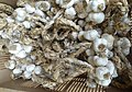 Arleux production d'ails (6).JPG