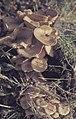 Armilleria mellea. Honey fungus. Gwaelod. November 1964 (22843264478).jpg