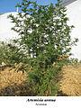 Artemisia annua 1.jpg