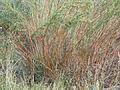 Artemisia dracunculus (5020457503).jpg