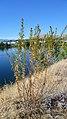 Artemisia dracunculus 3.jpg
