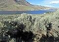 Artemisia tridentata kz09.jpg