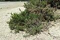 Arthrocnemum macrostachyum kz6.jpg