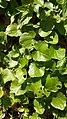 Asarum europeum, Aristolochiaceae 03.jpg