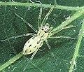 Asemonea.tanikawai.female.-.tanikawa.jpg
