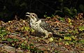 Asian Koel Eudynamys scolopaceus female by Dr. Raju Kasambe DSCN0755 (12).jpg