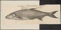 Aspius rapax - 1726 - Print - Iconographia Zoologica - Special Collections University of Amsterdam - UBA01 IZ15000143.tif