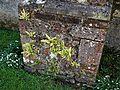 Asplenium scolopendrium Hart's-tongue fern at Ss Peter and Thomas' Church, Stambourne, Essex.jpg