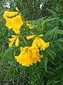 Astianthus viminalis.JPG