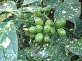 Aucuba japonica 'crotonifolia' 03.jpg