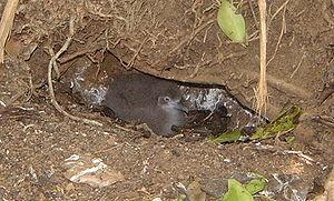 Audubon's shearwater - P. l. lherminieri chick in nest burrow on Little Tobago.