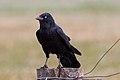 Australian Raven (Corvus coronoides) (8079688691).jpg