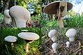 Autumn has started so that we can enjoy again all kind of mushrooms around Arnhem - panoramio.jpg