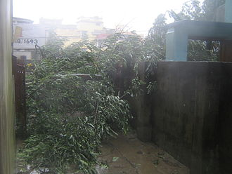 Cyclone Aila - Aila downed thousands of trees, like this one.