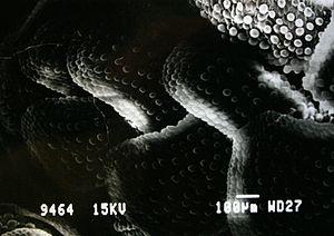 Azolla - SEM image of Azolla surface