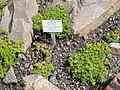 Azorella trifurcata - Palmengarten Frankfurt - DSC01897.JPG
