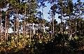 Bahamas 1988 (249) New Providence Bahamian Pine Forest (24044731815).jpg