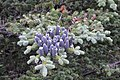 Balsam Fir (Abies balsamea) - Placentia, Newfoundland 2019-08-10.jpg