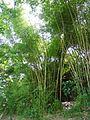 Bambusa vulgaris Schrad. ex J.C.Wendl. - La Lagunita 2013 006.jpg