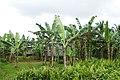 Bananiers à Ribeira Peixe (São Tomé) (2).jpg