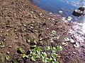 Banks Lake 2015 water lowered to control coontail moss 2.JPG