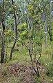 Banksia integrifolia subsp. compar.jpg