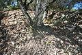 Banksia oblongifolia lignotuber1.JPG