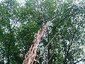 Banyan tree vines.jpg